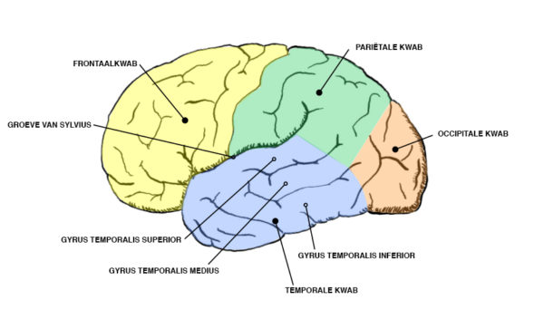 kwabben-hersenen-nl